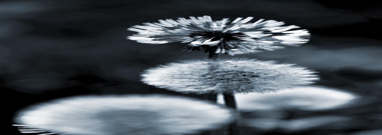 dandelion-monotone